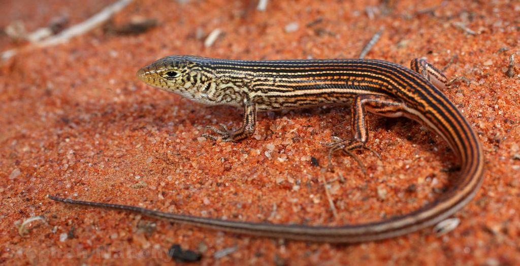 <I>Ctenotus dux</I>. Photo: Stephen Mahony.