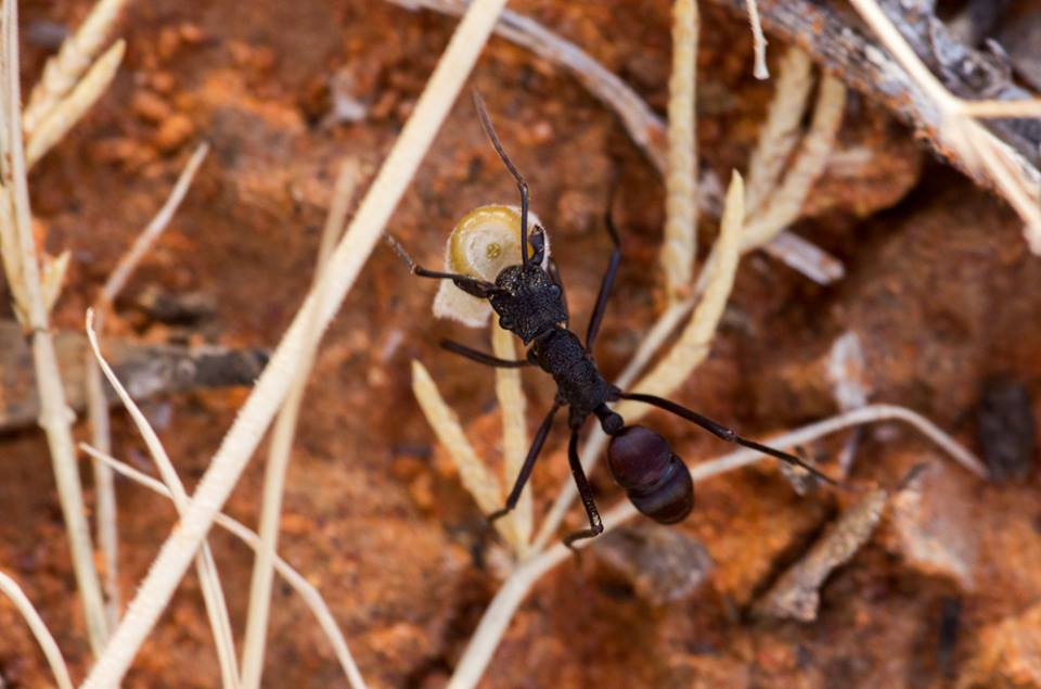 Rhytidoponera sp. Photo: David Nelson