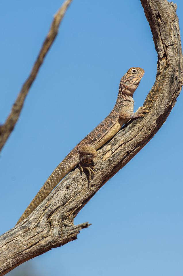 <I>Ctenophorus nuchalis</I>, Central Netted Dragon. Photo: David Nelson