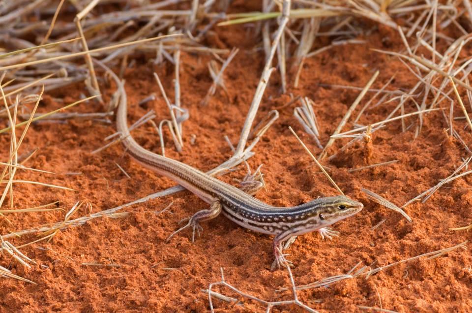 <I>Ctenotus regius</I>, Royal Ctenotus. Photo: David Nelson