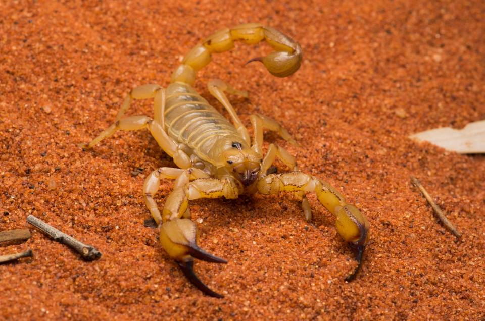 <I>Urodacus sp., </I> Scorpion. Photo: David Nelson