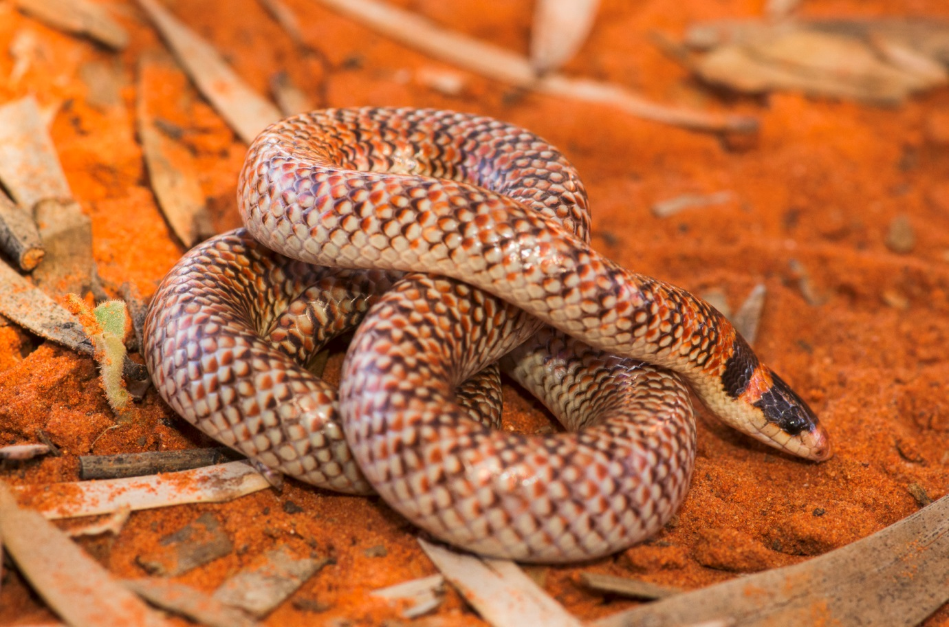 <i>Brachyurophis fasciolatus</I>, Narrow-Banded Shovel-Nosed Snake.  Photo: David Nelson