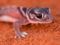 <I>Nephrurus levis</I>, Knob-Tailed Gecko. Photo: David Nelson