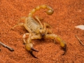 <I>Urodacus sp., </I> Scorpion. Photo: David Nelson