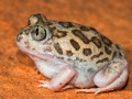 <i>Neobatrachus sudellae, </i>Desert Trilling Frog. Photo: David Nelson