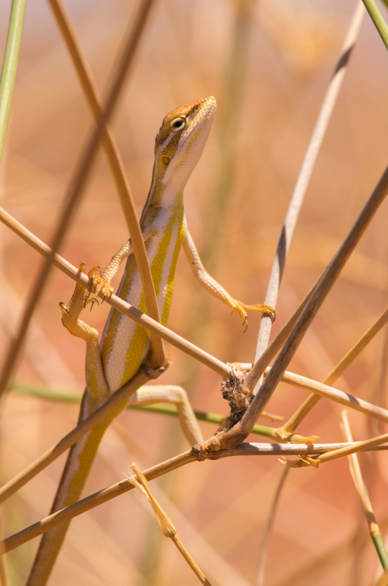 <i>Diporiphora winneckei</I>, Canegrass dragon. Photo: David Nelson