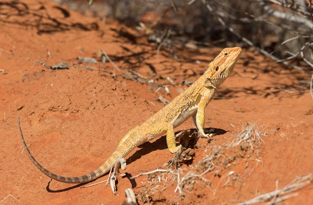 Central Bearded Dragon,<I> Pogona vitticeps</I>. Photo: David Nelson