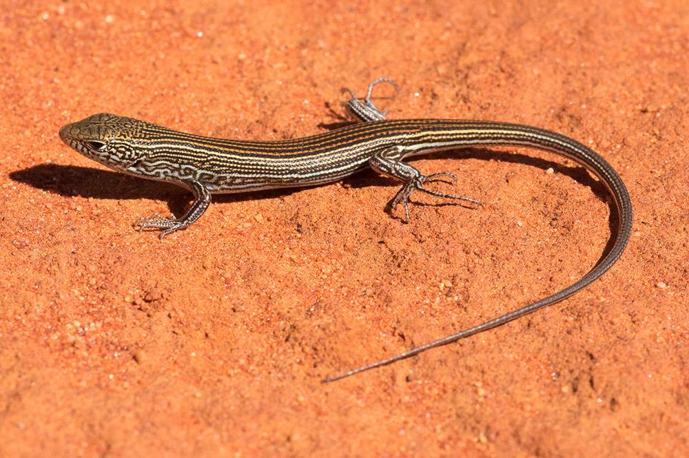 <I>Ctenotus dux,</I> Narrow-lined Ctenotus. Photo: David Nelson