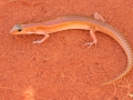 <I>Eremiascincus phantasmus</I>, Ghost Skink. Photo: David Nelson