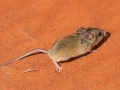 Sandy Inland Mouse, <I>Pseudomys hermannsbergensis</I>. Photo: David Nelson