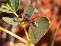 <I>Camponotus sp.</I> Photo: David Nelson