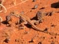 <I>Ctenophorus isolepis</I>, Military Dragon, neonate. Photo: David Nelson