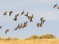 Flock Bronzewings. Photo: David Nelson