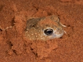 <i>Notaden nichollsi</I>, Desert Spadefoot, emerging from a sandhill crest. Photo: David Nelson