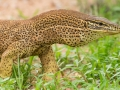 Floodplains monitor, <i>Varanus panoptes</I>. Near Boulia. Photo: David Nelson