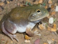 Water Holding Frog, <i>Cyclorana platycephala</I>. Near Boulia. Photo: David Nelson