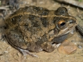 Knife-footed water-holding frog, <i>Cyclorana cultripes</I>. Near Boulia. Photo: David Nelson