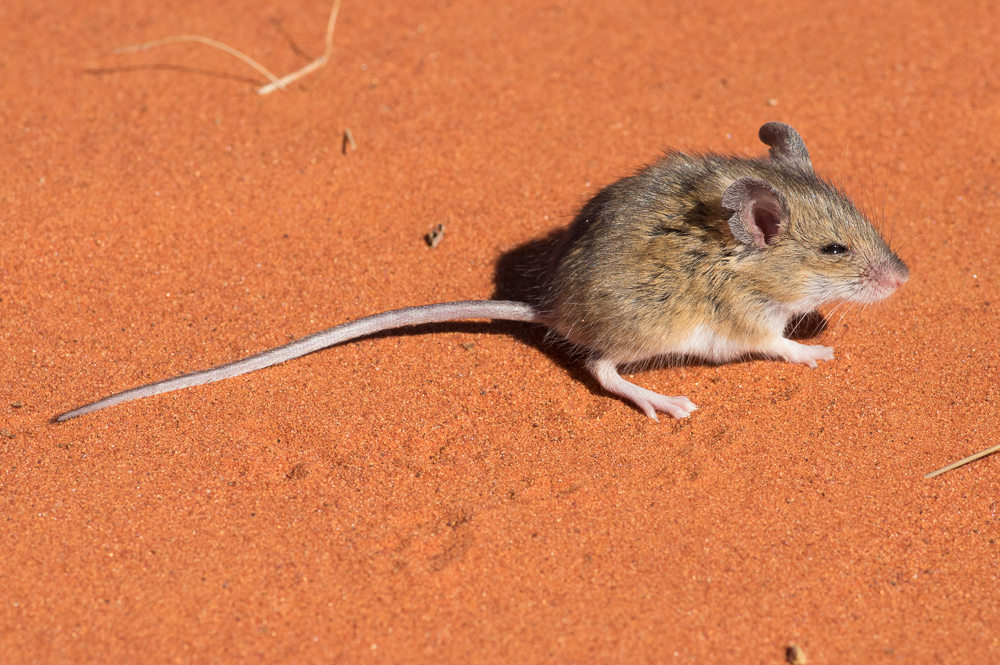 Sandy Inland Mouse, <i>Pseudomys hermannsburgensis</I>. Photo: David Nelson