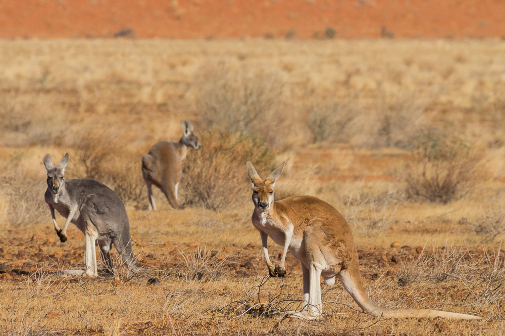 Red Roos. Photo: David Nelson