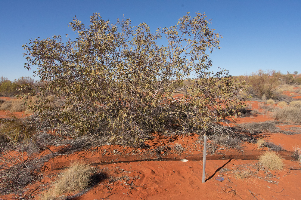 More fruits of our labour - Mallee traps. Photo: David Nelson