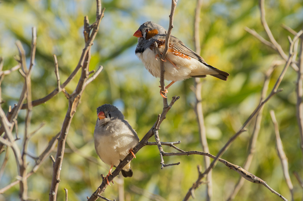 Zebra finches at the spring. Photo: David Nelson