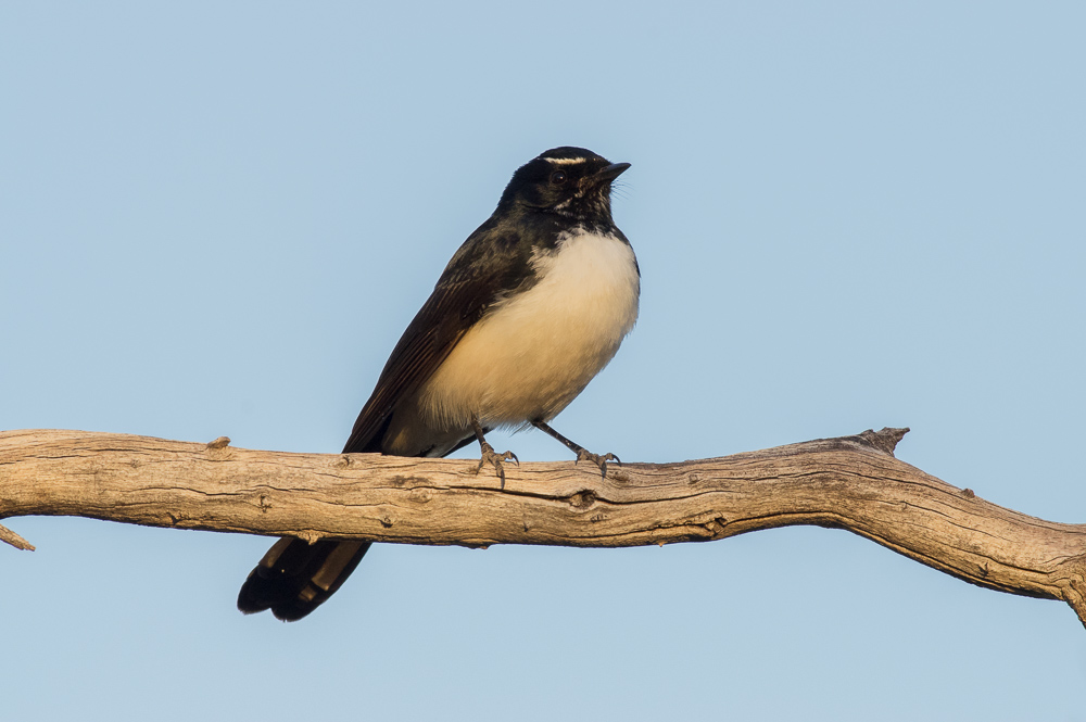 Camp mate Willy Wagtail, Tjintir-tjintirpa. Photo: David Nelson