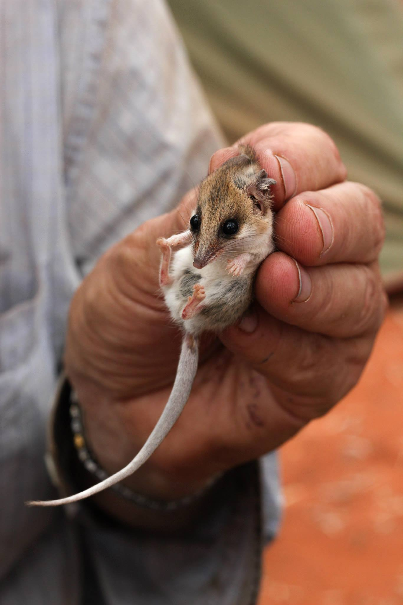 <I>Sminthopsis youngsoni</I>, Lesser Hairy-Footed Dunnart. Photo: Jess Lawton