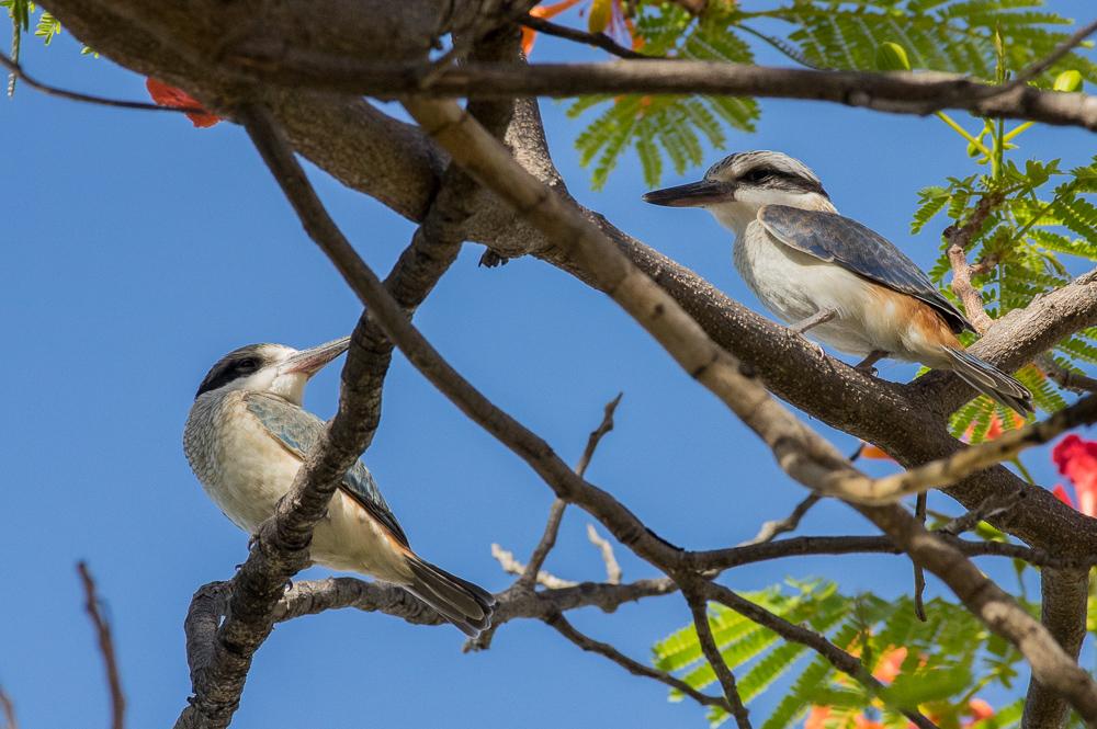 Red-Backed Kingfishers, Windorah. Photo: David Nelson
