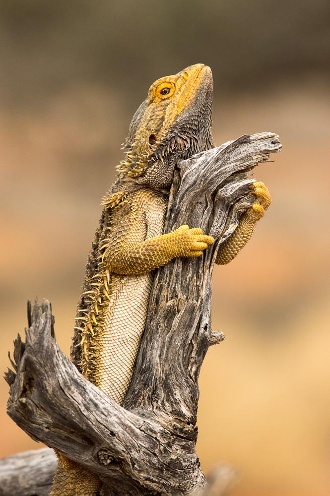 Bearded Dragon, <I>Pogona vitticeps</I>. Photo: David Nelson