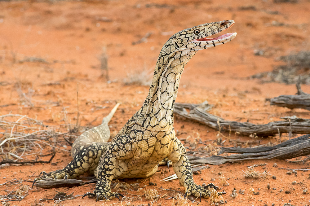 Perentie, <I>Varanus giganteus</I>. Photo: David Nelson