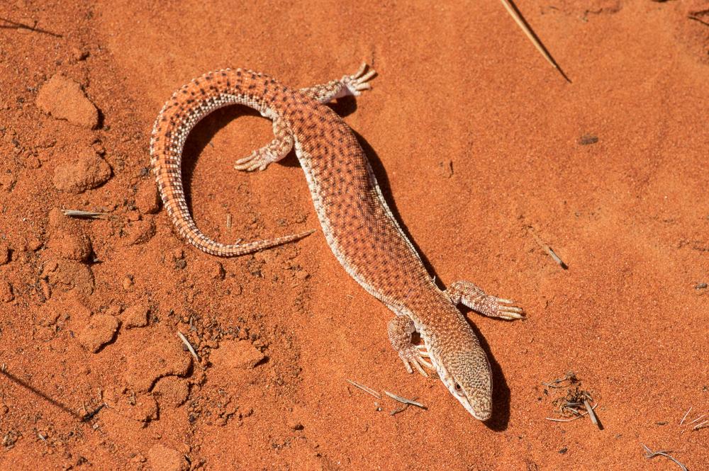 <I>Varanus brevicauda</I>, Short-tailed Pygmy Monitor, not wanting to pose (as usual). Photo: David Nelson