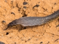 Ingram's Brown Snake, <I>Pseudonaja ingrami</I>. Channel country near Bedourie. Photo: David Nelson