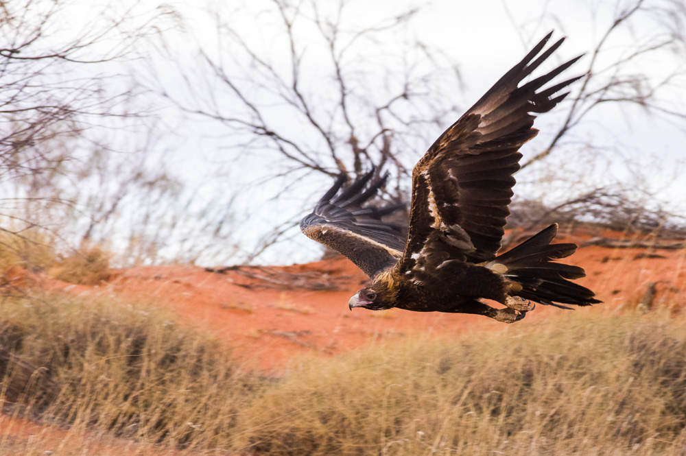 Wedge-tailed Eagle. Photo: David Nelson
