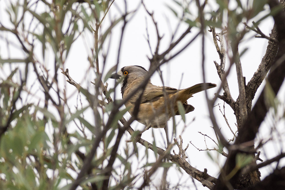 Crested Bellbird. Photo: David Nelson