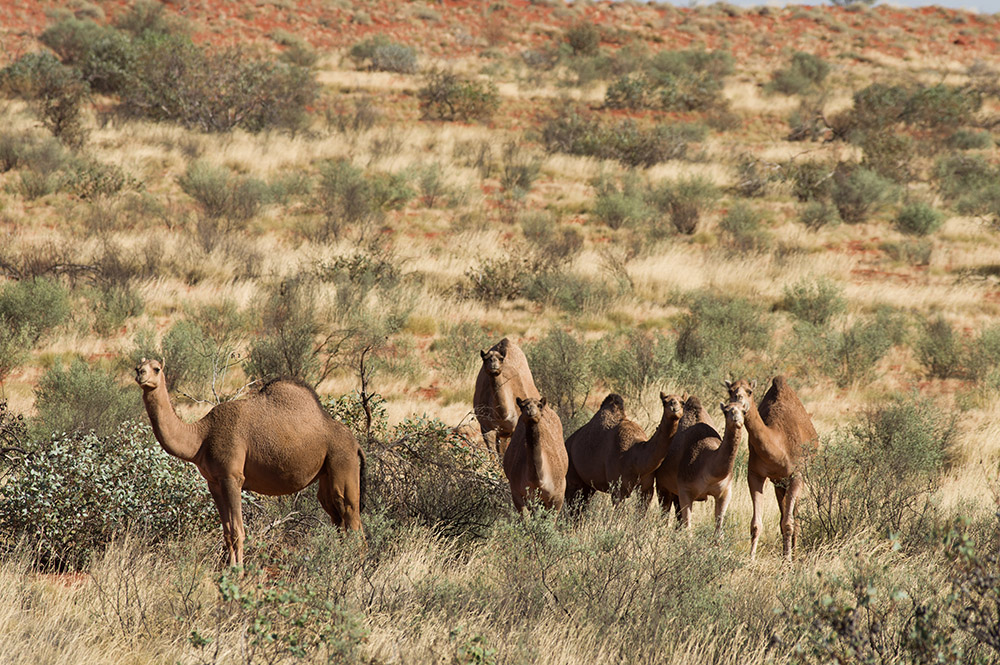 Camels. Photo: David Nelson