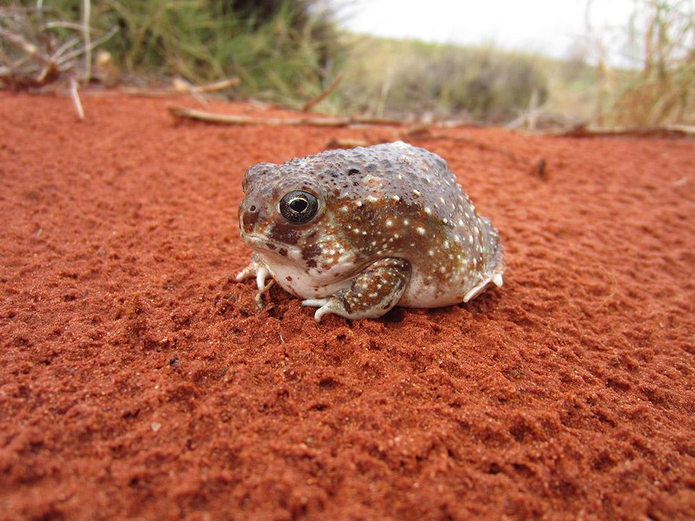 Desert Spadefoot, <I>Notaden nichollsi</I>. Photo: Mel Wong