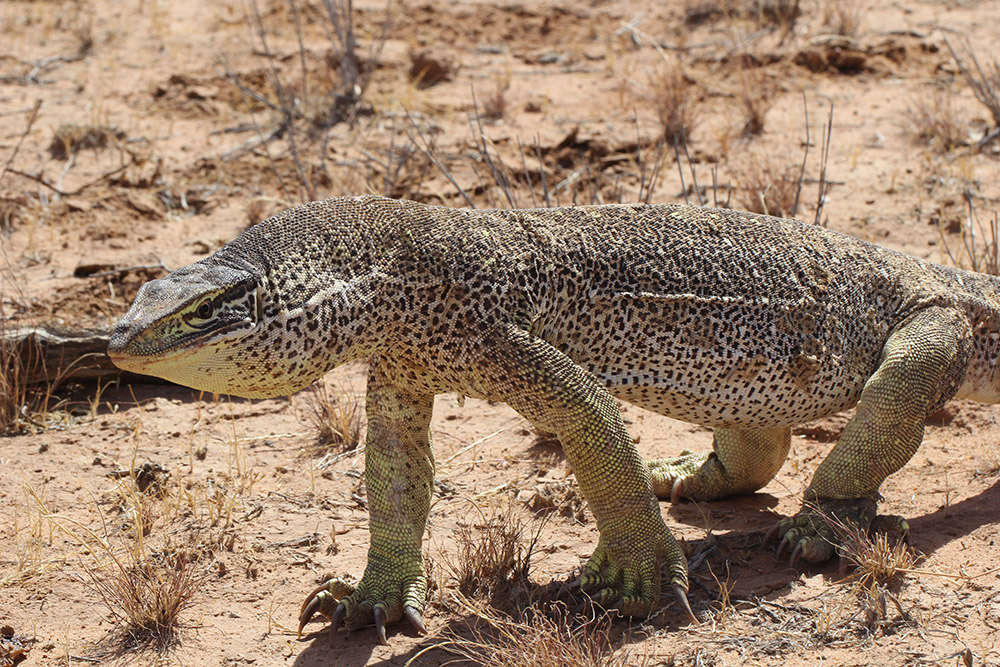 <I>Varanus panoptes</I>, Floodplains monitor. Photo: JP Emery