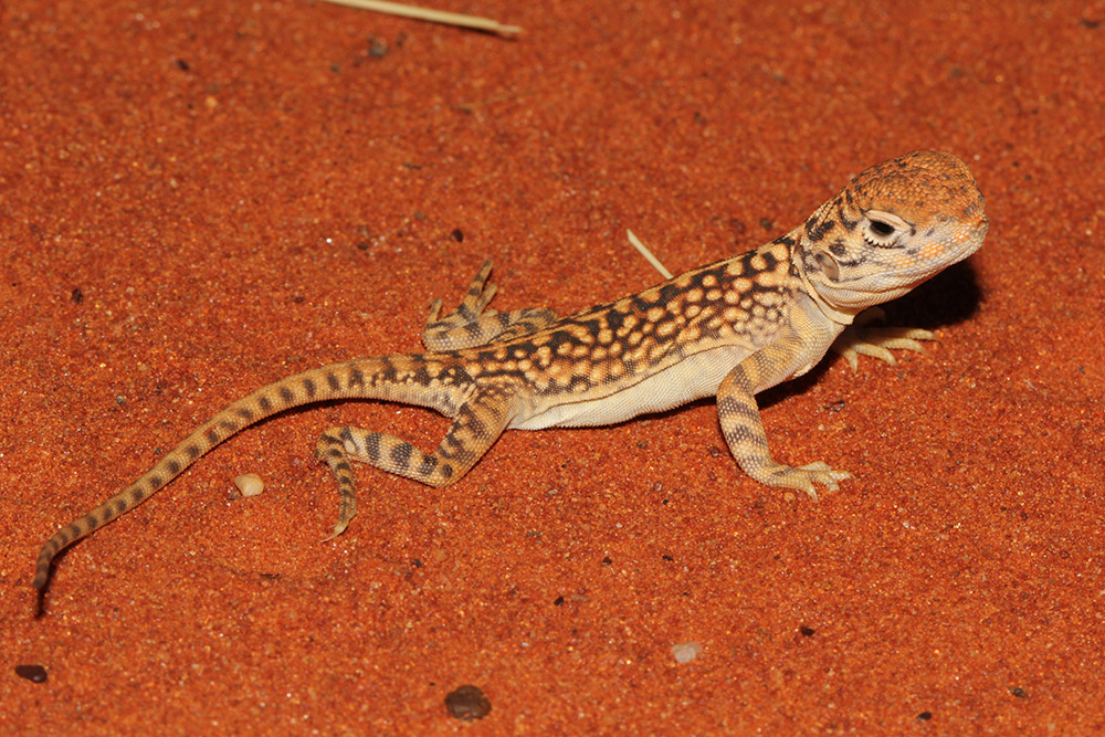 Central Netted Dragon, <I>Ctenophorus nuchalis</I>. Photo: JP Emery