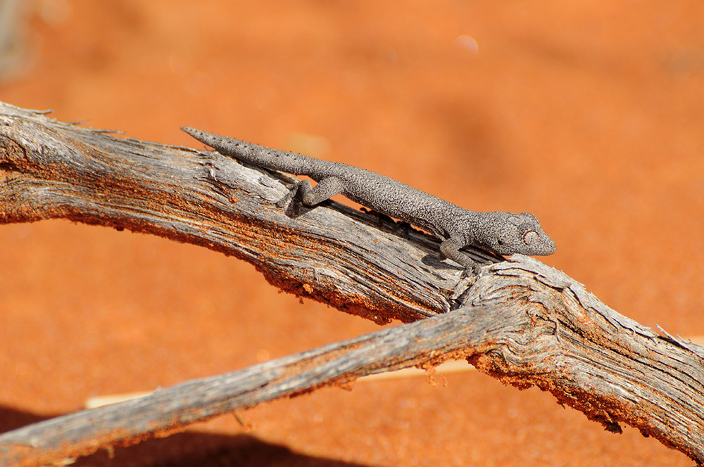 Spiny-tailed Gecko, <I>Strophurus ciliaris</I>. Photo: Lachlan Pettit