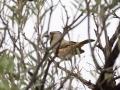 Crested Bellbird. Photo: David Nelson