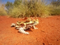 Thorny Devil, <I>Moloch horridus</I>. Photo: Mel Wong