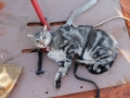 Cat restrained for GPS collar attachment. Photo: Bobby Tamayo