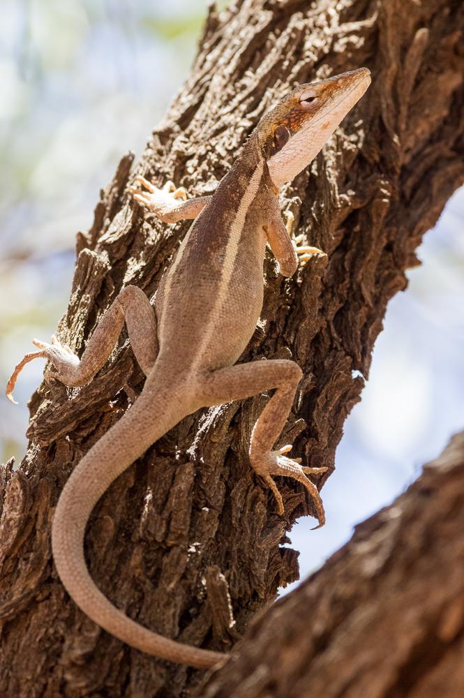 Female Long-nosed Dragon, <I>Gowidon longirostris</I>. Photo: David Nelson