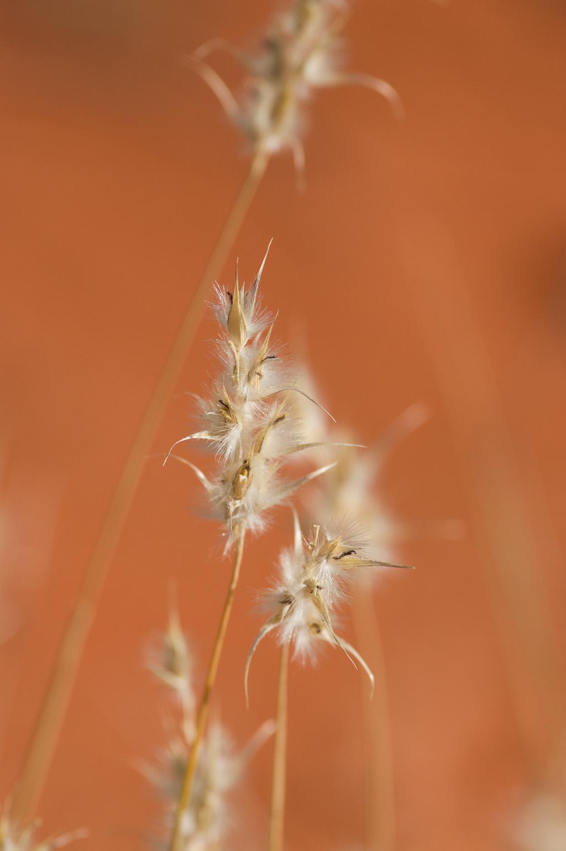 <I>Paraneurachne muelleri</I>. Photo: David Nelson