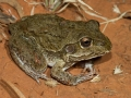 <I>Litoria (Cyclorana) australis / novaehollandii</I>, Windorah. Photo: David Nelson