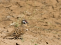 Spinifex pigeon. Photo: David Nelson