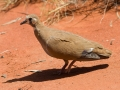 Female Flock Bronzewing. Photo: David Nelson