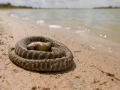 Dead Woma Python. Photo: David Nelson