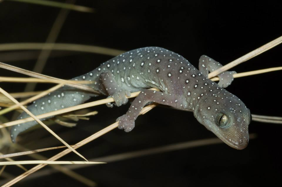 Jewelled Gecko, <I>Strophurus elderi</I>. Photo: David Nelson