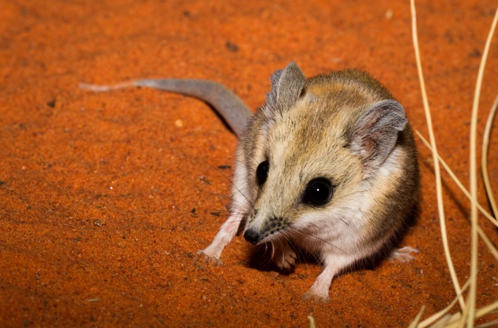 Fat-tailed Dunnart, <I>Sminthopsis crassicaudata</I>. Photo: Bobby Tamayo